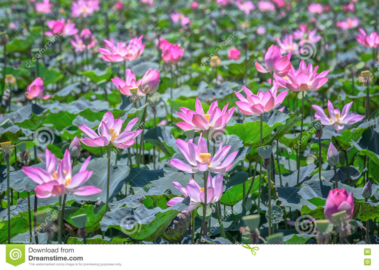Selective Focus Blurred Lotus Blooming Stock Image Image Of Lily
