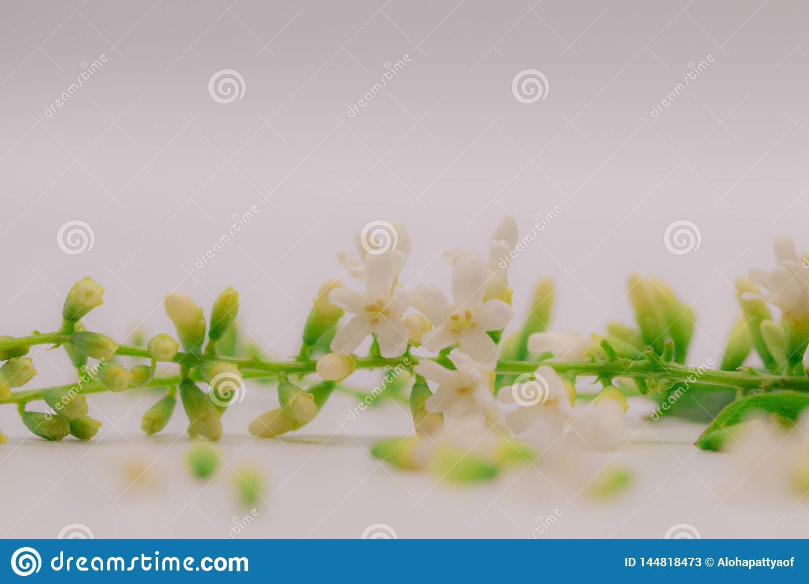 Selective focus Chinese Rose flower or Citharexylum Spinosum flowers on isolate white background.Common names include Florida fidd
