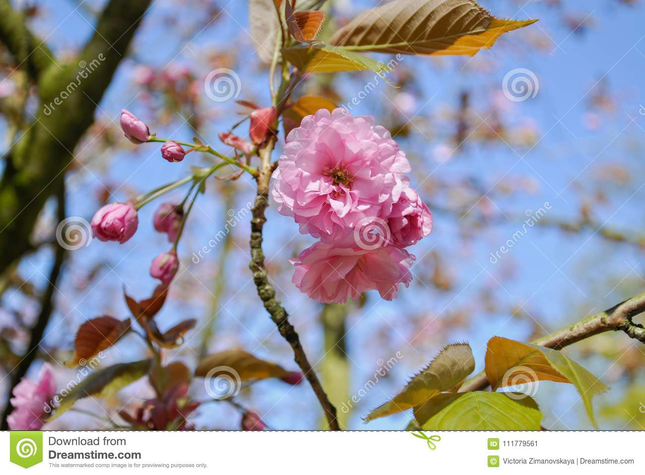 Selective focus close-up photography. Beautiful cherry blossom sakura in spring time over blue sky