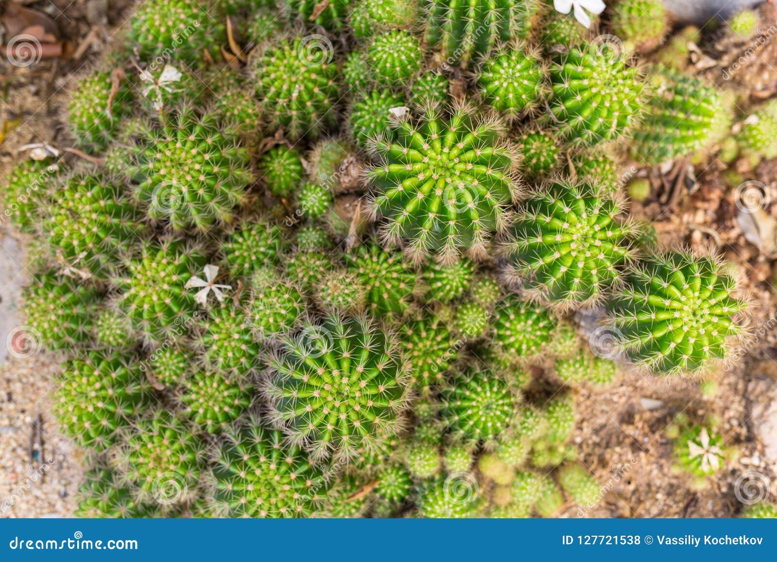 Selective focus close-up top-view shot on Golden barrel cactus Echinocactus grusonii cluster. well known species of