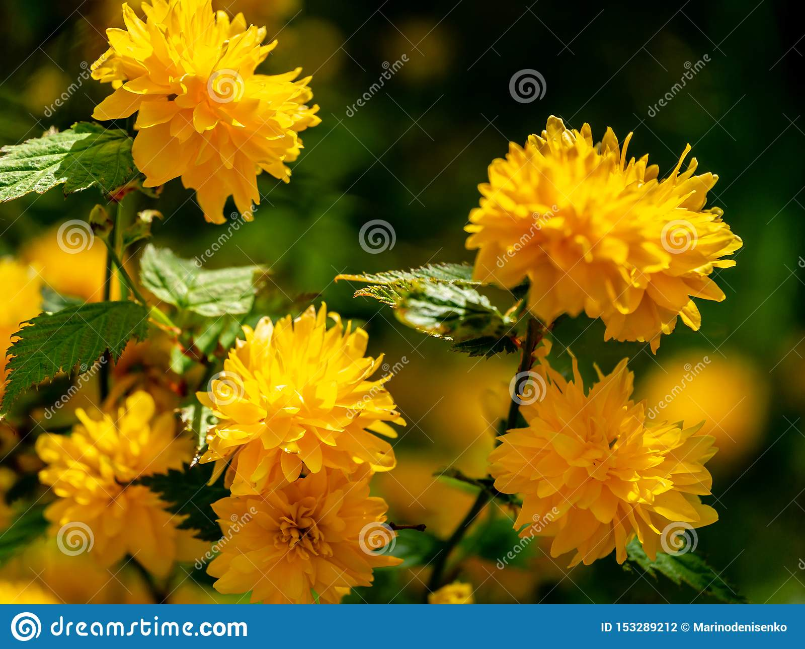 Selective focus on foreground of bright yellow flowers of Japanese kerria or Kerria japonica pleniflora on natural blurred