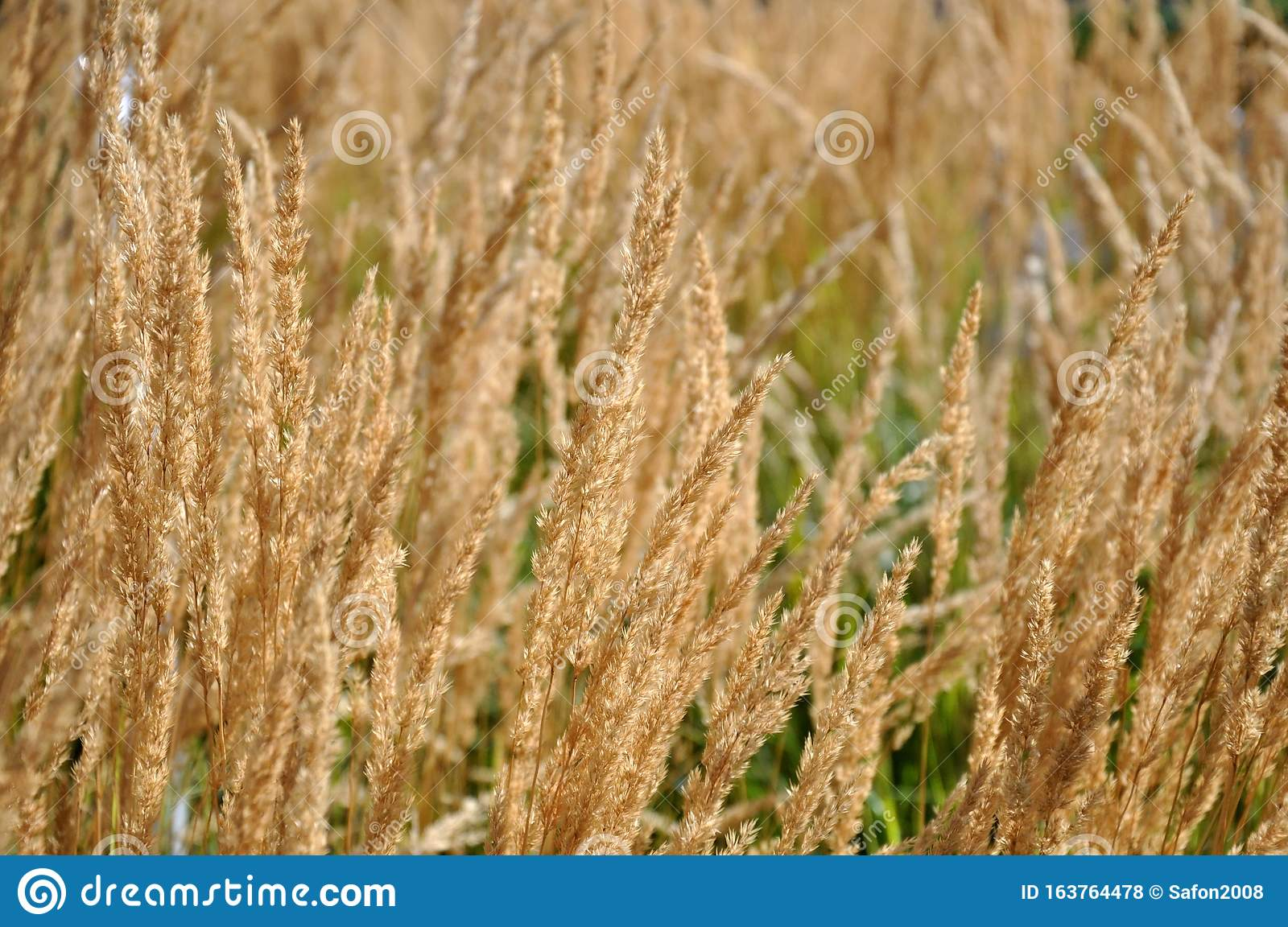 Selective Soft Focus Of Dry Grass On A Flower Bed Reed Stem Texture Background Stock Photo Image Of Reed Background 163764478