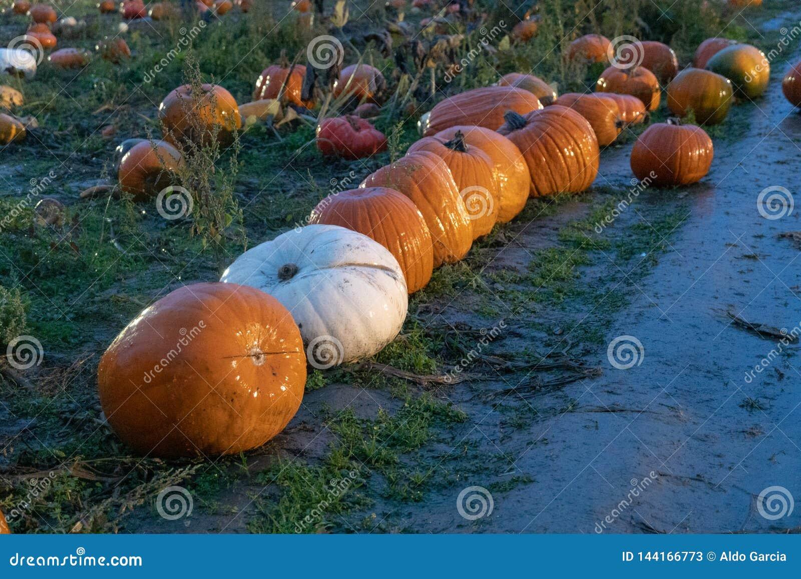 Selezionando le zucche per Halloween