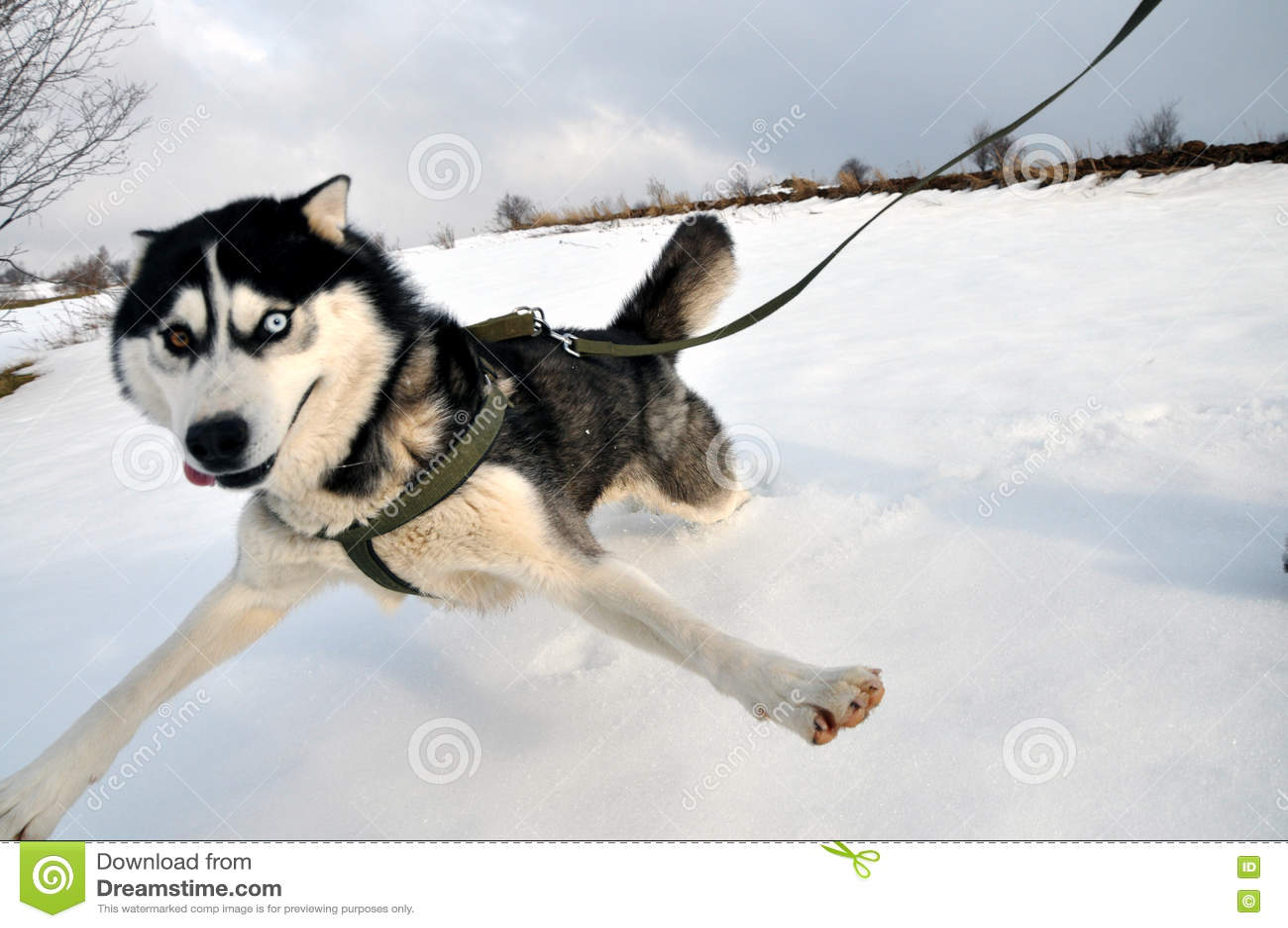 Selfie, Siberian husky dog perspective