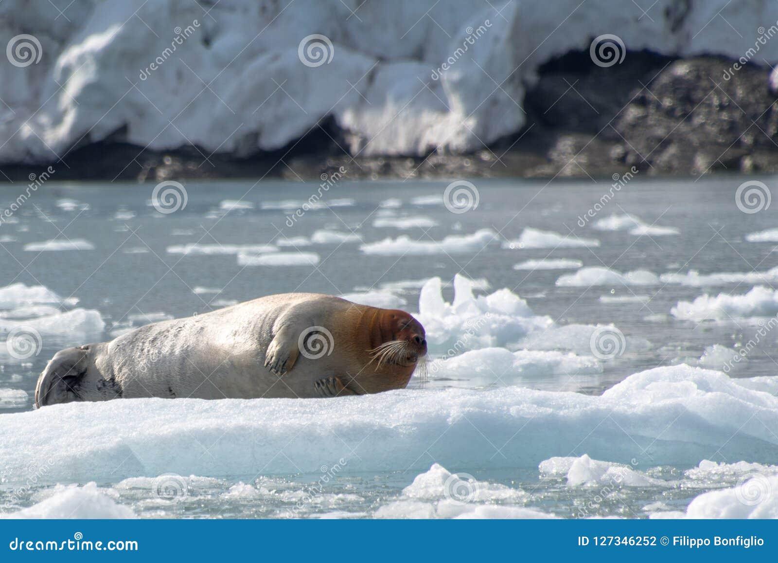 Sello barbudo, Svalbard - Noruega