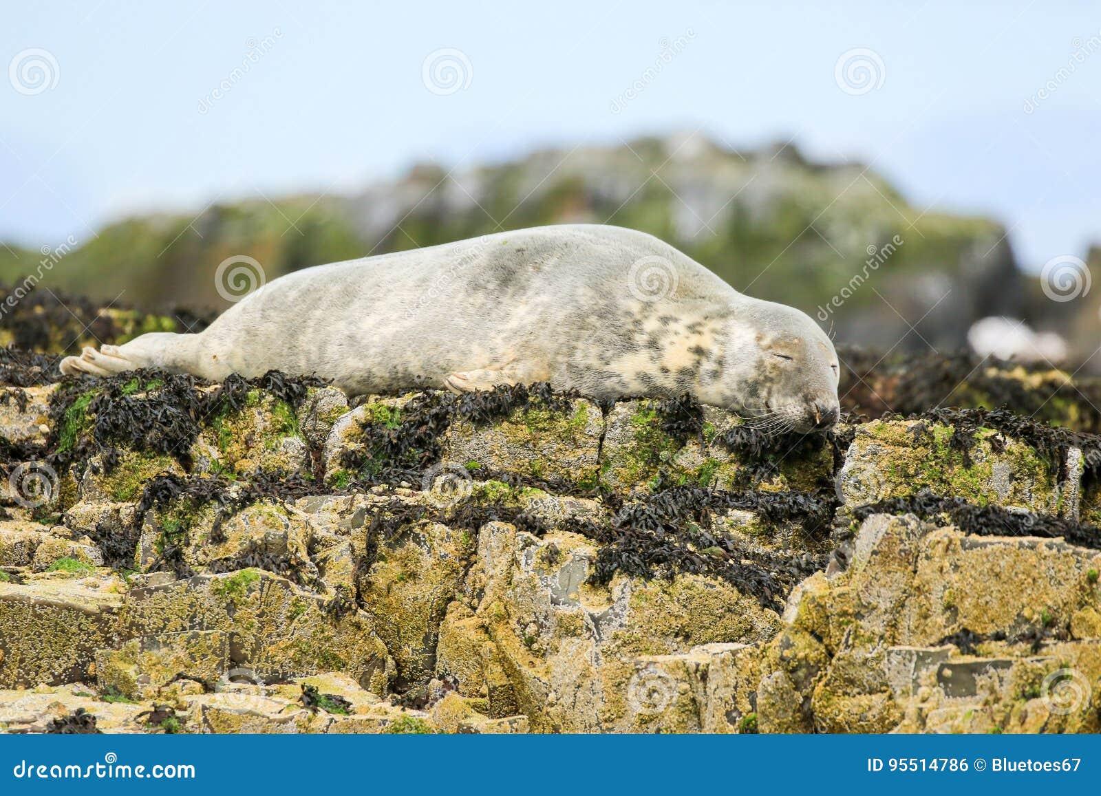 Sello común del gris en rocas