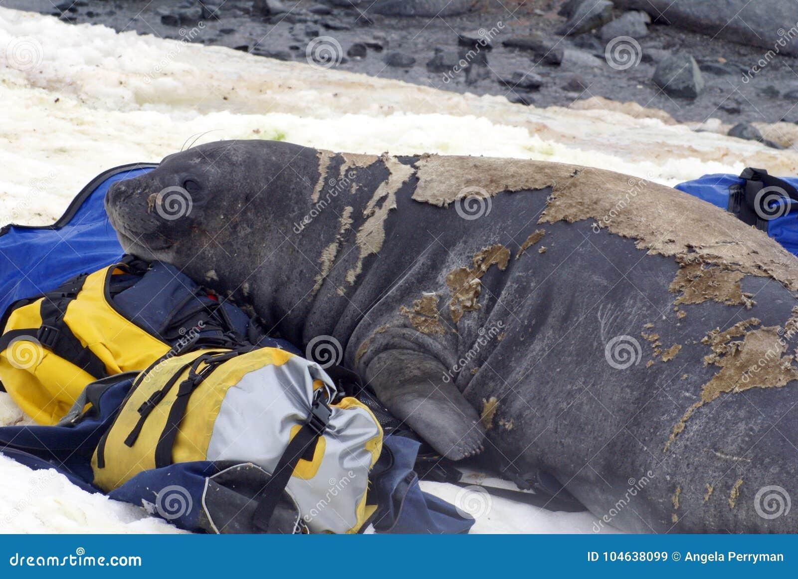 Sello de elefante joven en una muda en los petates