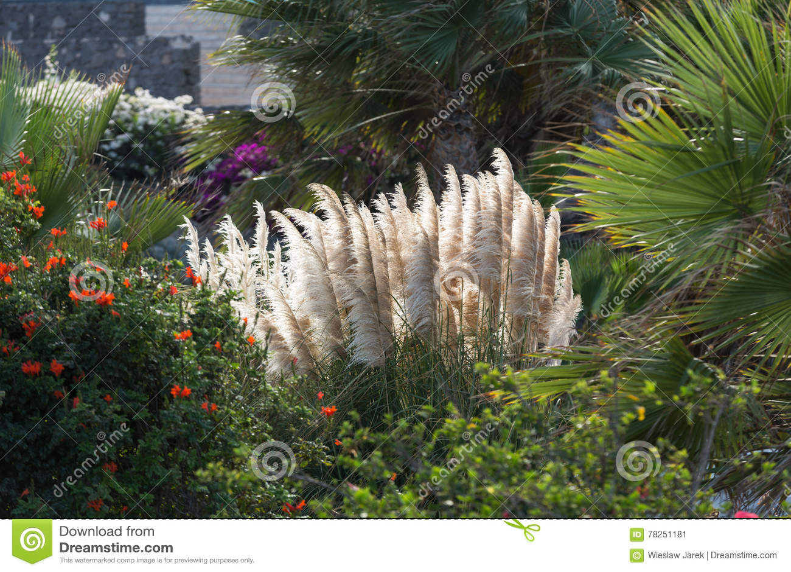 Selloana Cortaderia ή Pampas χλόη που φυσά στον αέρα