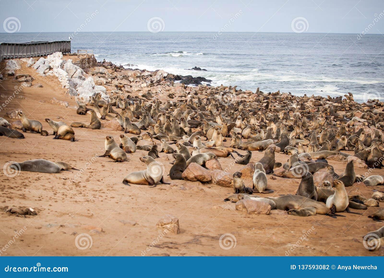 Selos dos leões de mar, Otariinae com filhotes de cachorro