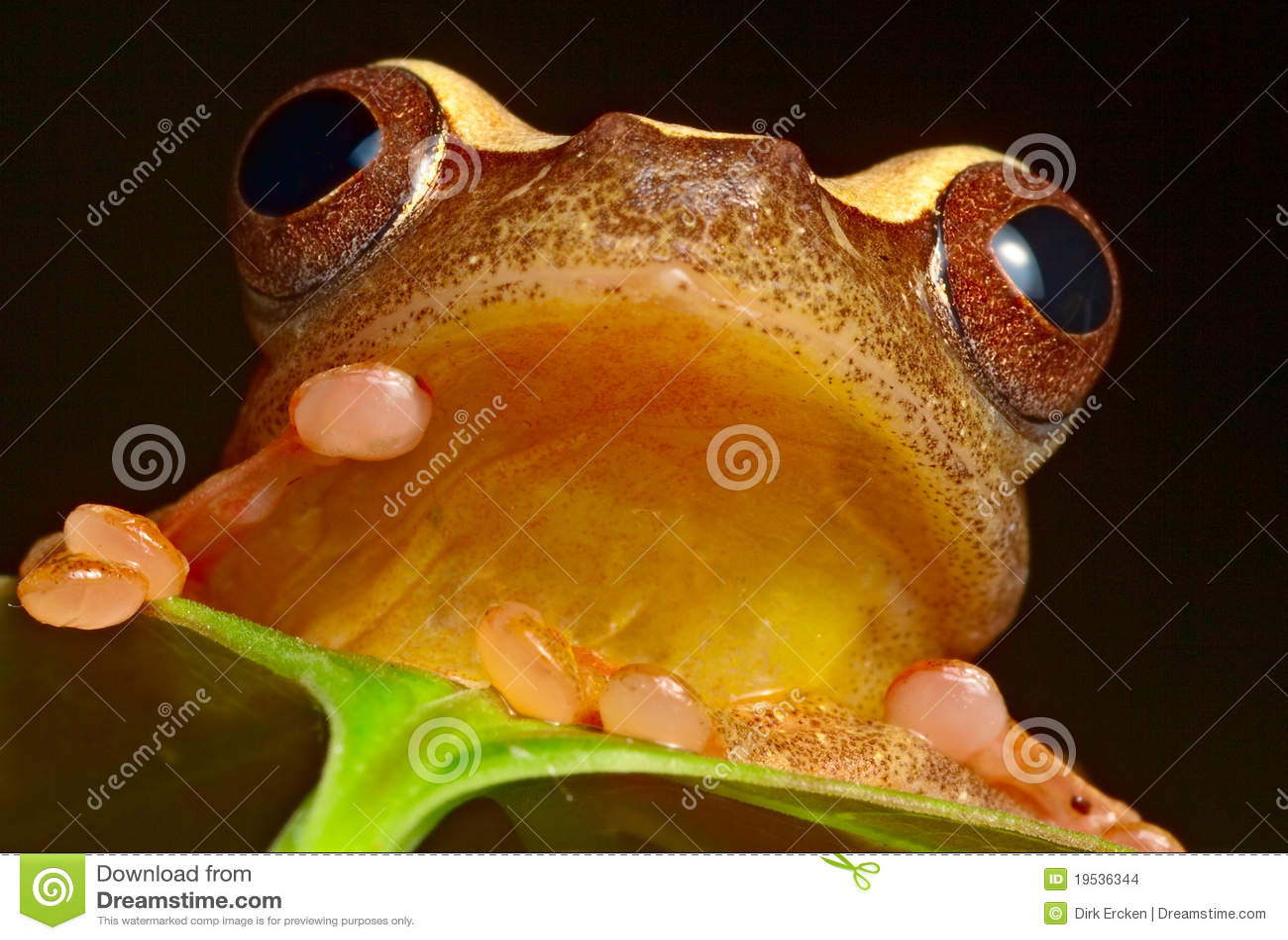 Selva eyed roja del Brasil el Amazonas de la rana de árbol