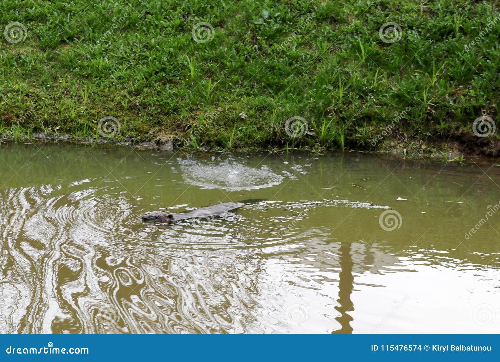 Selvaggio bagnato di Brown con i denti taglienti e l ordinario acquatico del castoro della grande coda, il roditore galleggia in