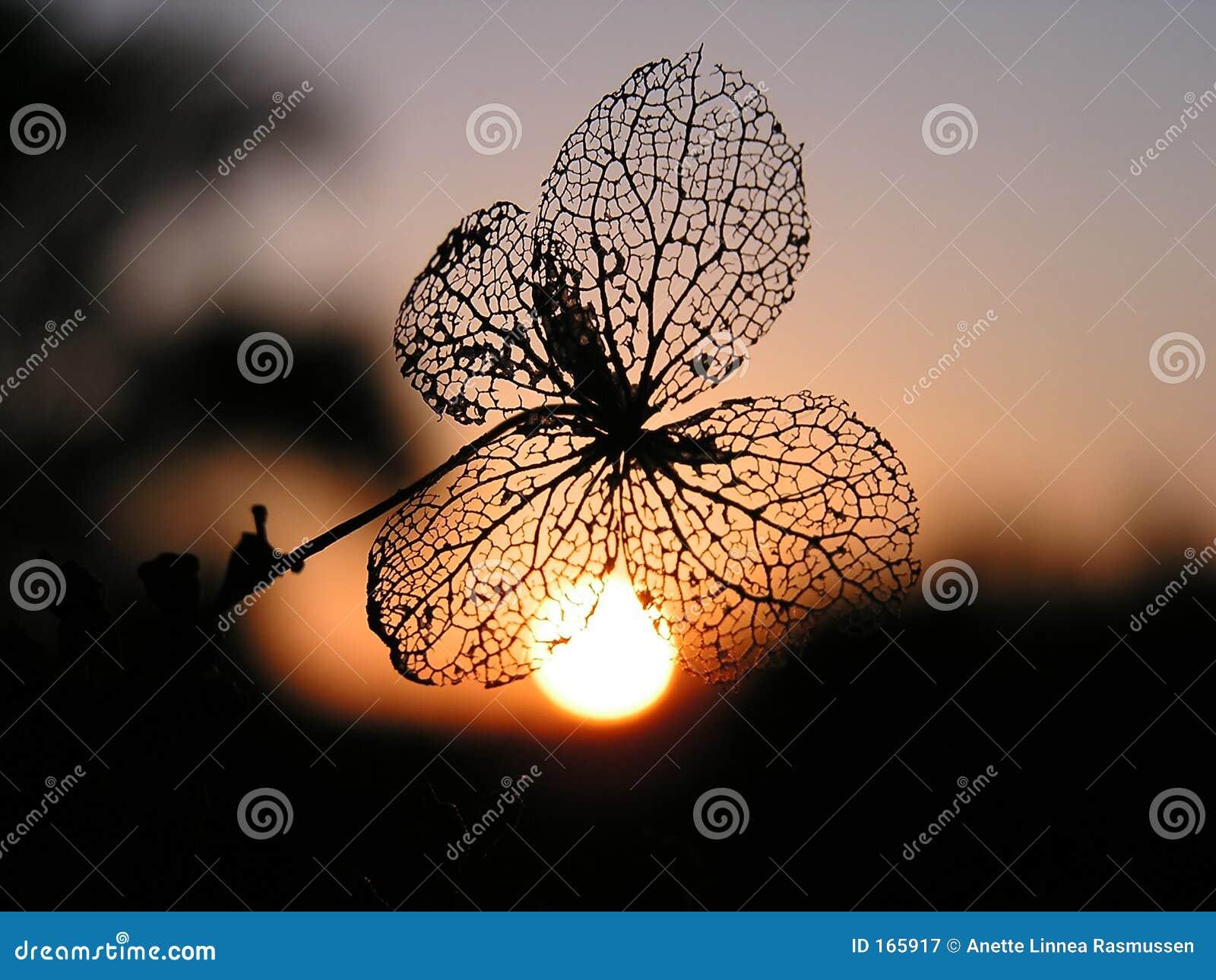 Seme al tramonto