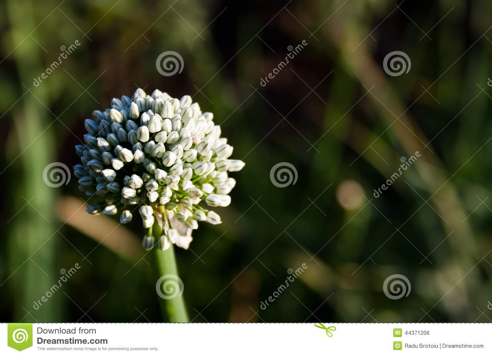 Seme della cipolla (allium cepa)