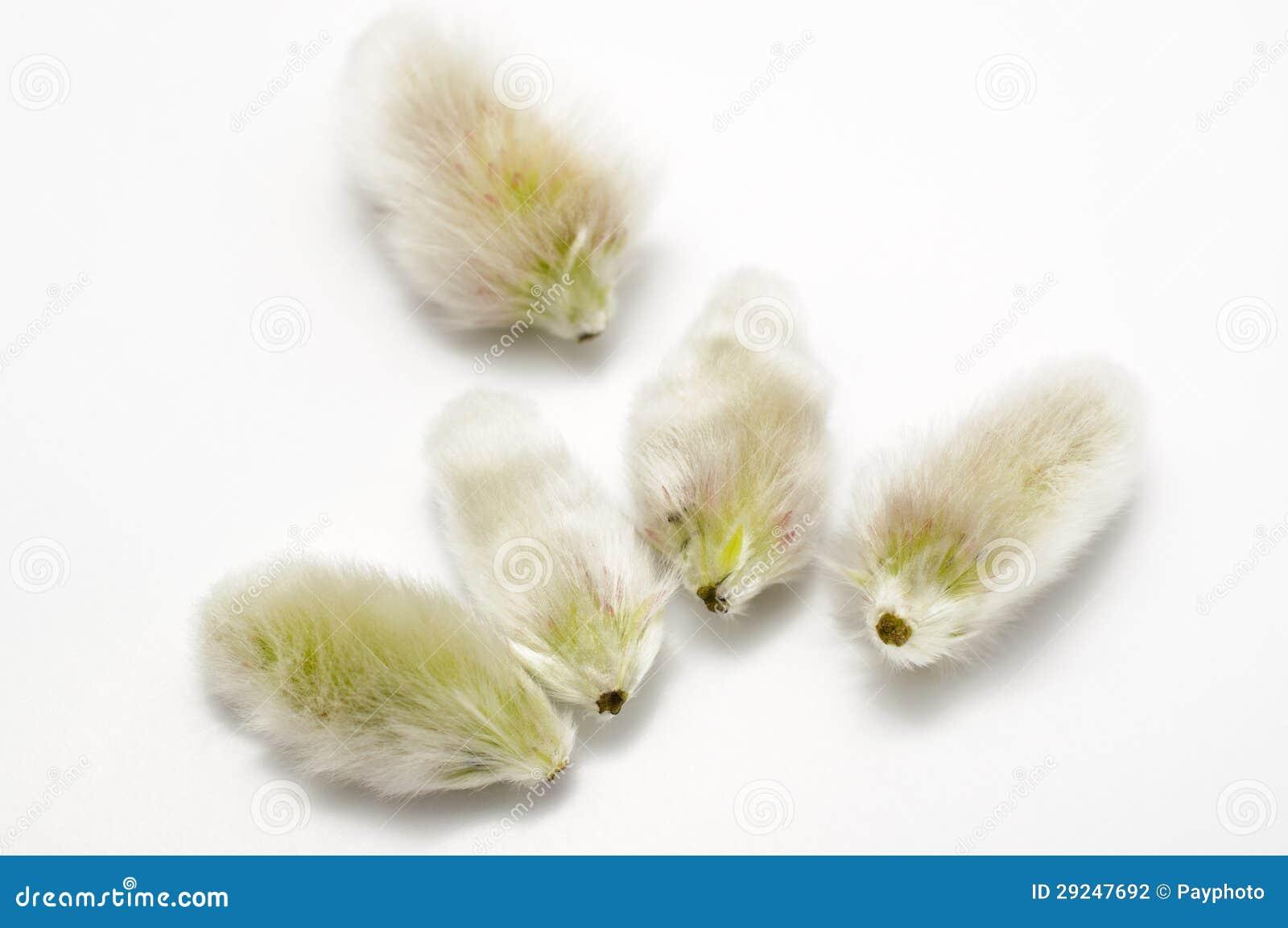 Download Semente Dos Salgueiros De Bichano Foto de Stock - Imagem de semente, bichano: 29247692