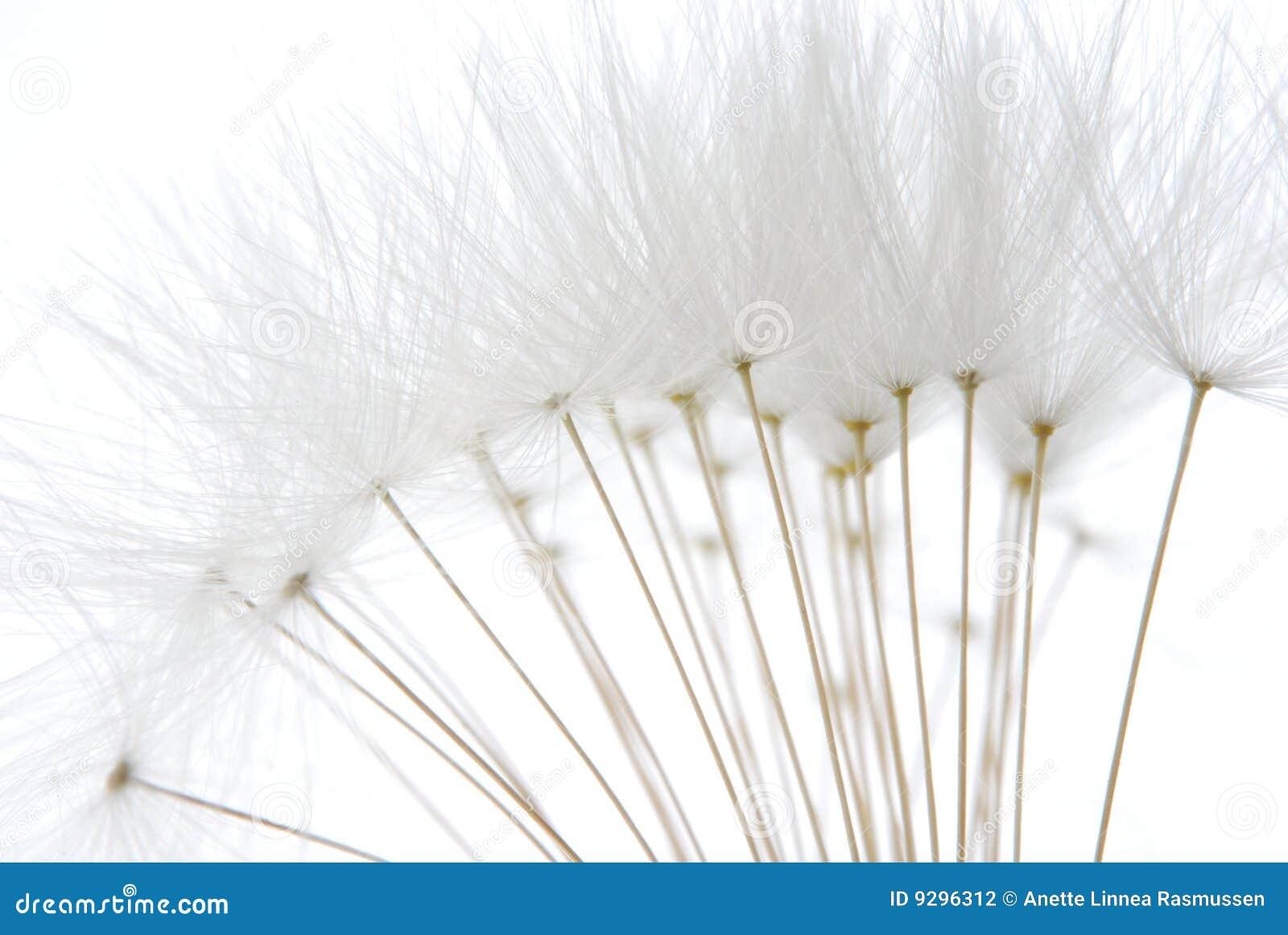 Sementes brancas macias do dente-de-leão