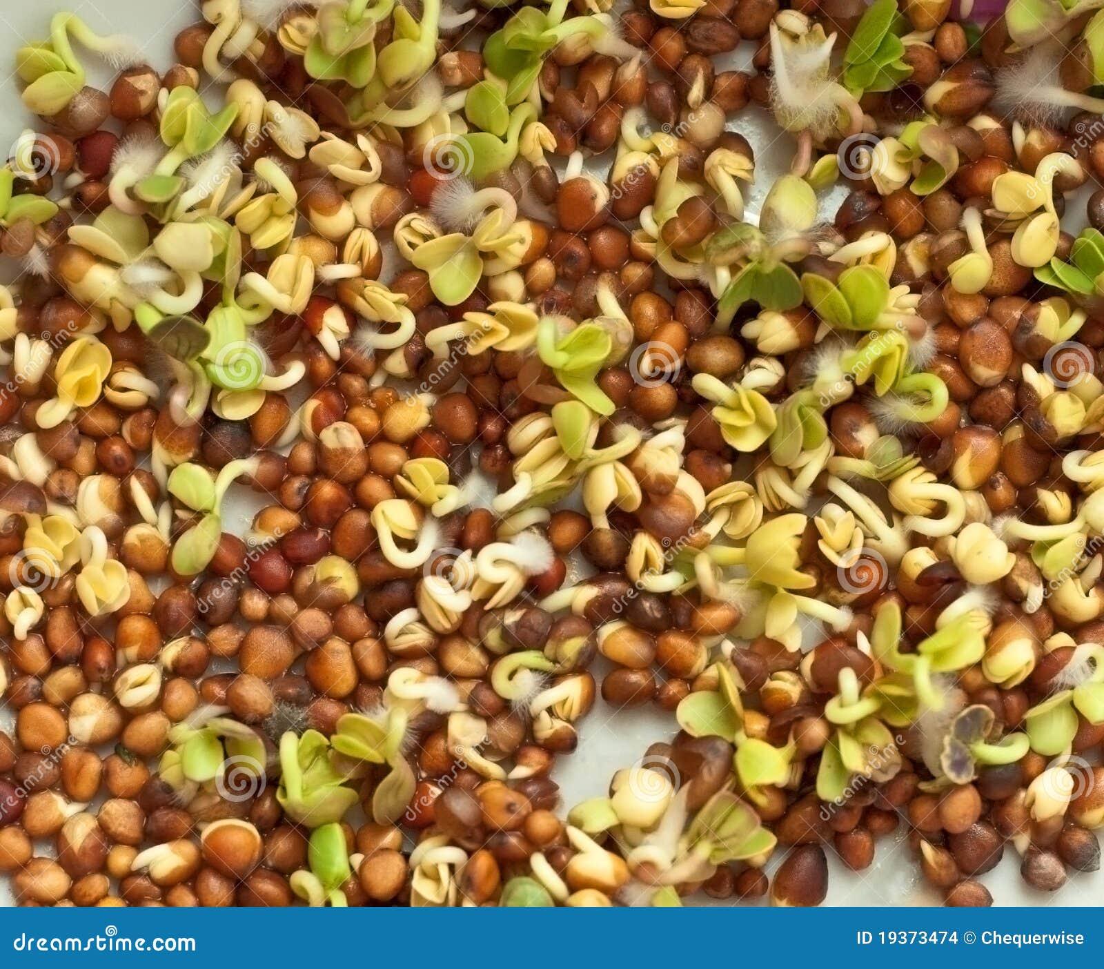 Sementes de Brown e sprouts verdes novos