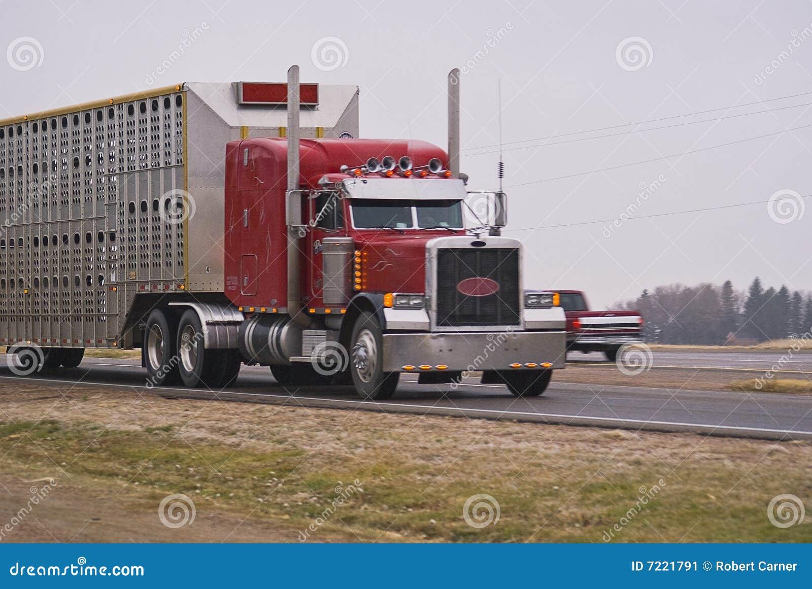 Semi camion tirant une remorque de bétail