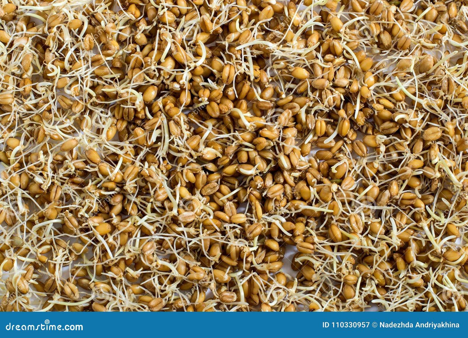 Semi germinati freschi del grano