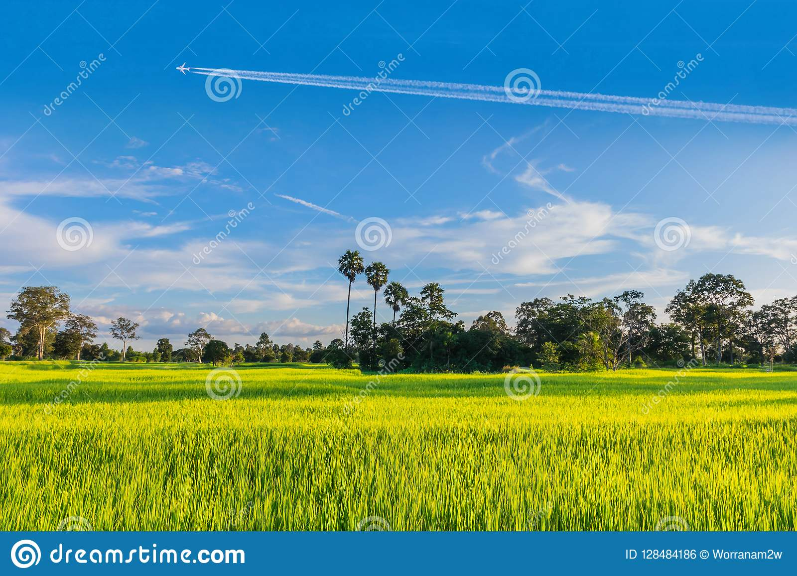 Semi Silhouette Green Paddy Rice Field With The Beautiful Sky And