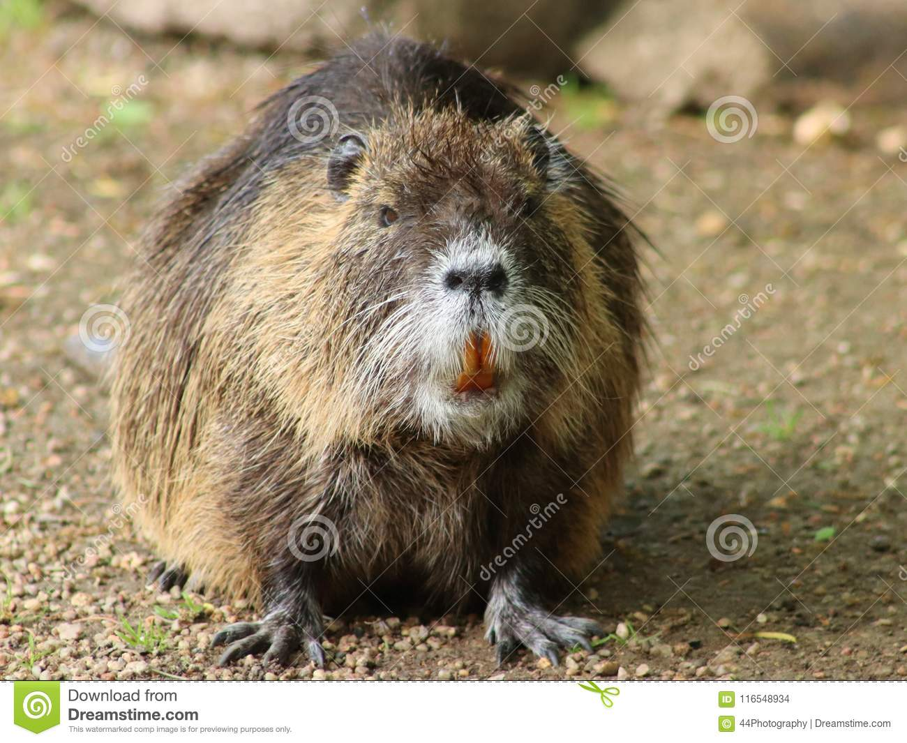 Portrait of a large coypu, also known as the nutria.