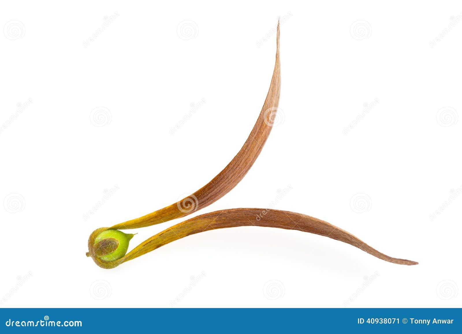 Semilla de Dipterocarpus Curtisii