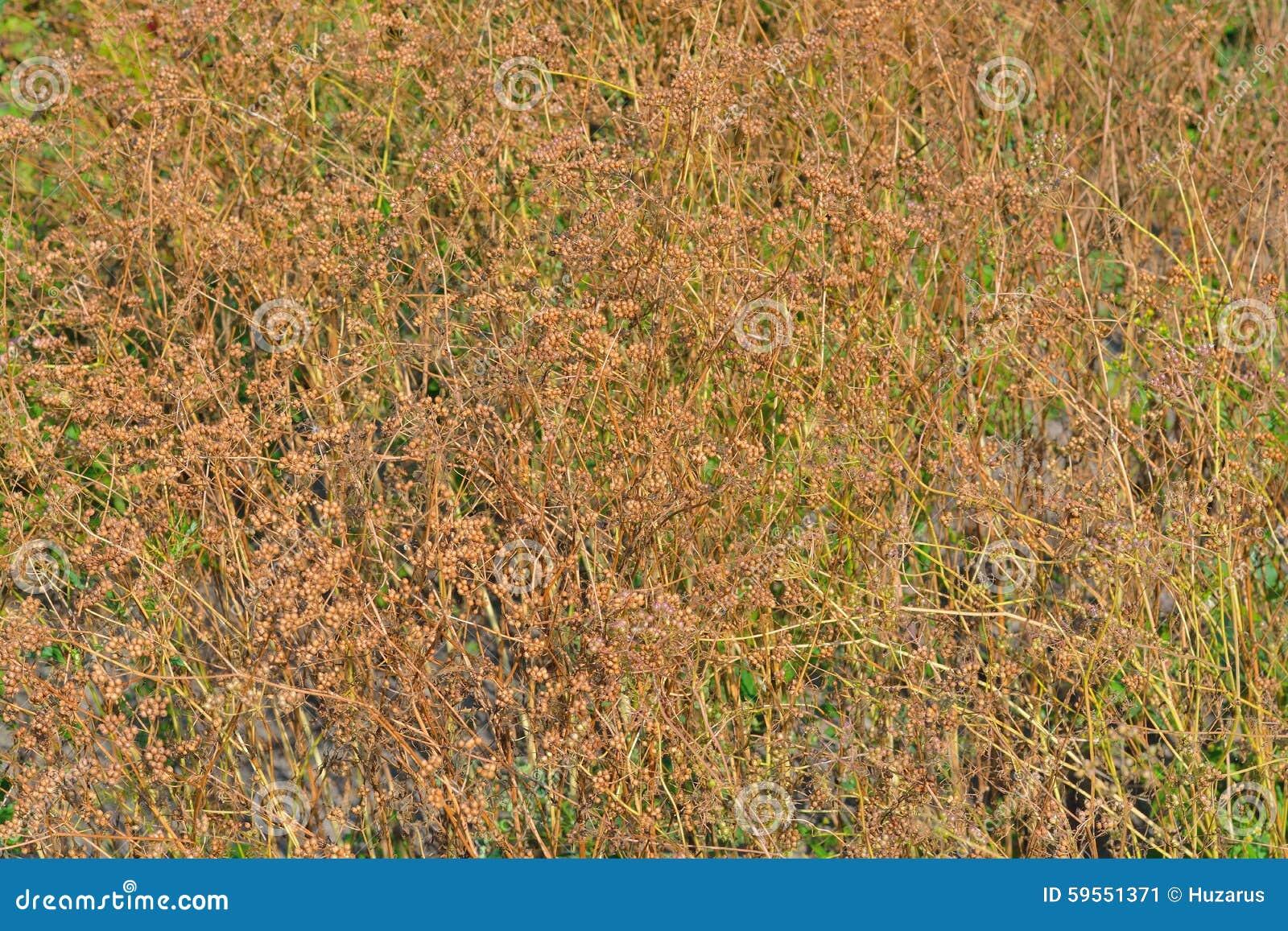 Semillas del cilantro