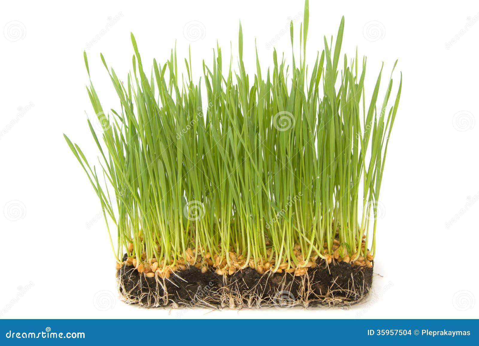 Semillas del trigo con los brotes verdes