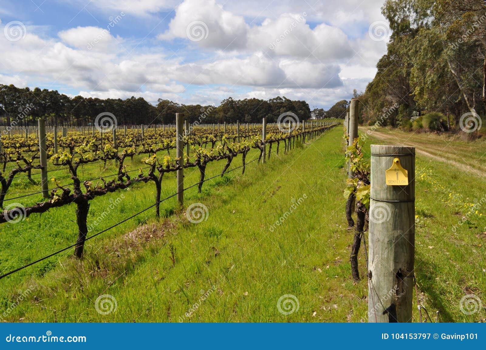 Semillion Gronowych winogradów Margaret rzeki zachodnia australia