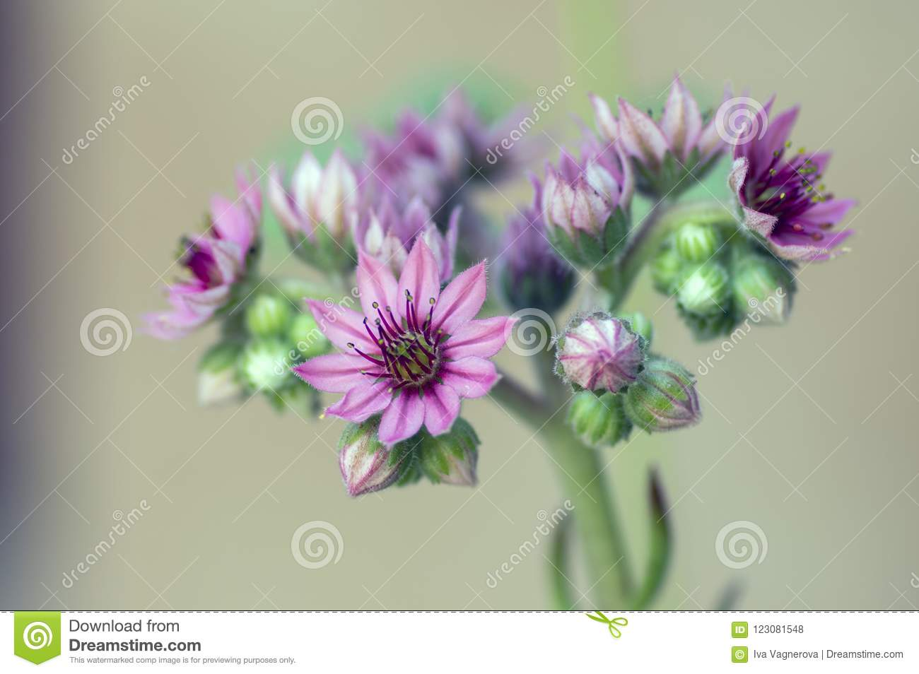 Sempervivum arachnoideum perennial flowering plant bright pink download sempervivum arachnoideum perennial flowering plant bright pink flowers stock photo image of floral mightylinksfo