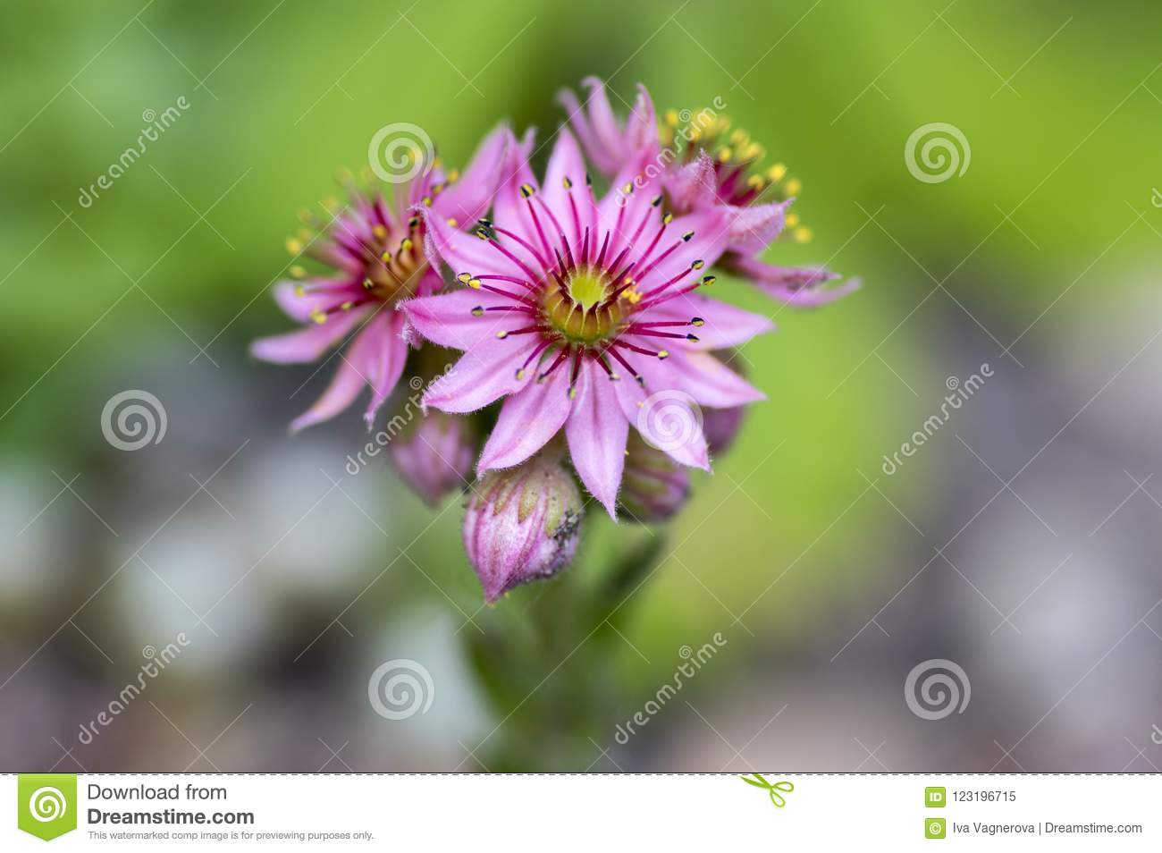 Sempervivum arachnoideum perennial flowering plant bright pink download sempervivum arachnoideum perennial flowering plant bright pink flowers stock image image of closeup mightylinksfo