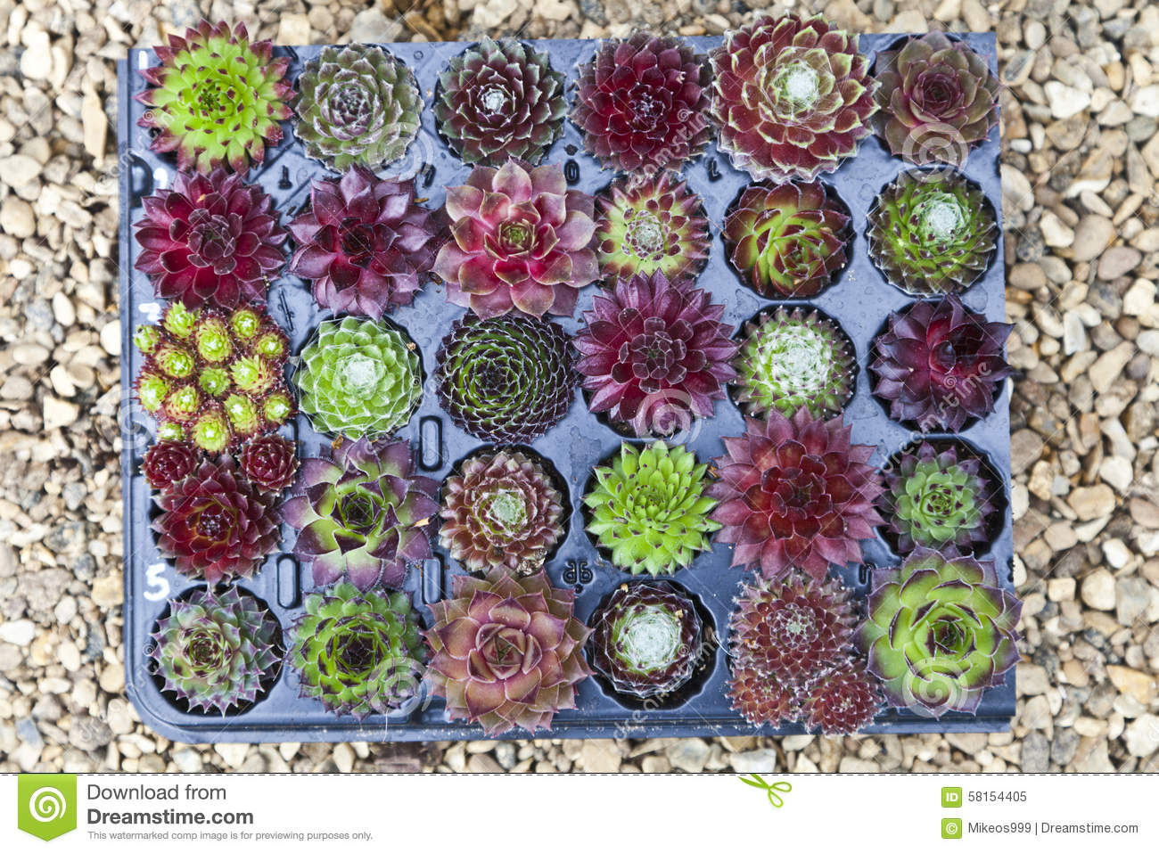Sempervivum Stock Photo - Image: 58154405