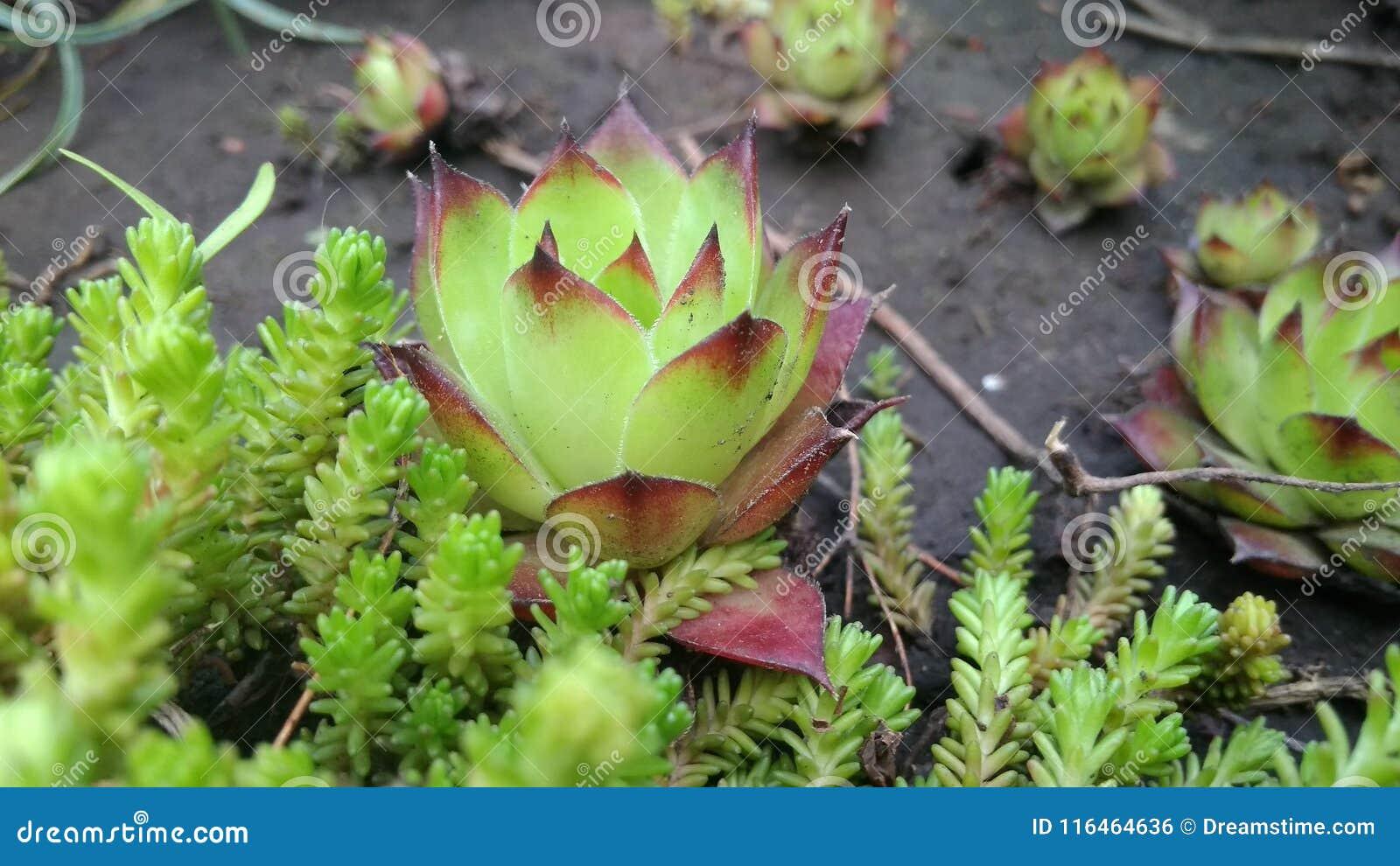 Sempervivum Houseleek In The Garden Stock Photo - Image of ... on birch plant, yarrow plant, scilla violacea plant, lemon balm plant, poppy plant, thyme plant, gold flower plant, hellebore plant, bottling plant, lady's mantle plant, sage plant, holly plant, perennial plant, hyssop plant, daffodil plant, lemon verbena plant, goat's beard plant, hops plant, catmint plant,