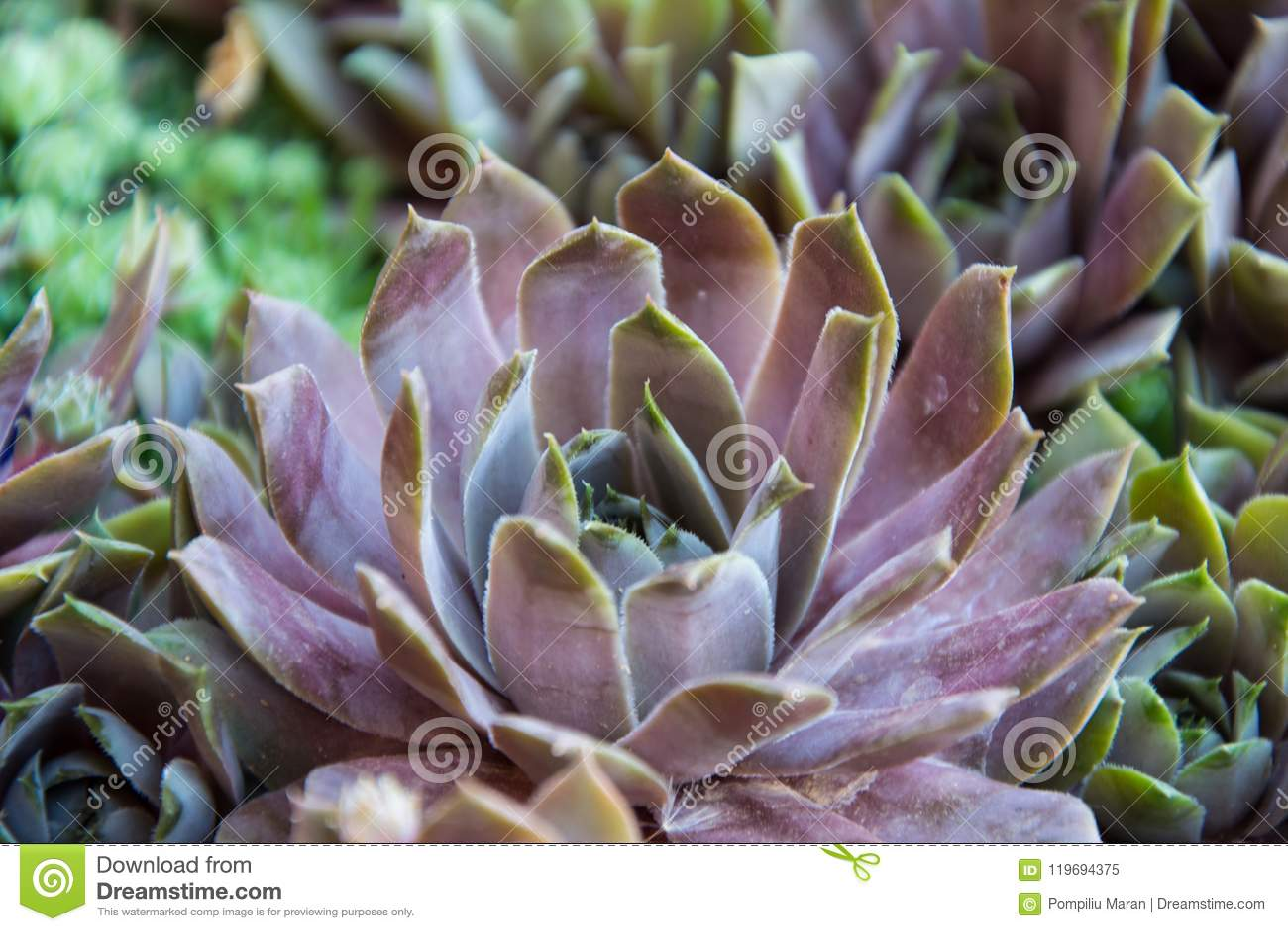 Sempervivum tectorum houseleek