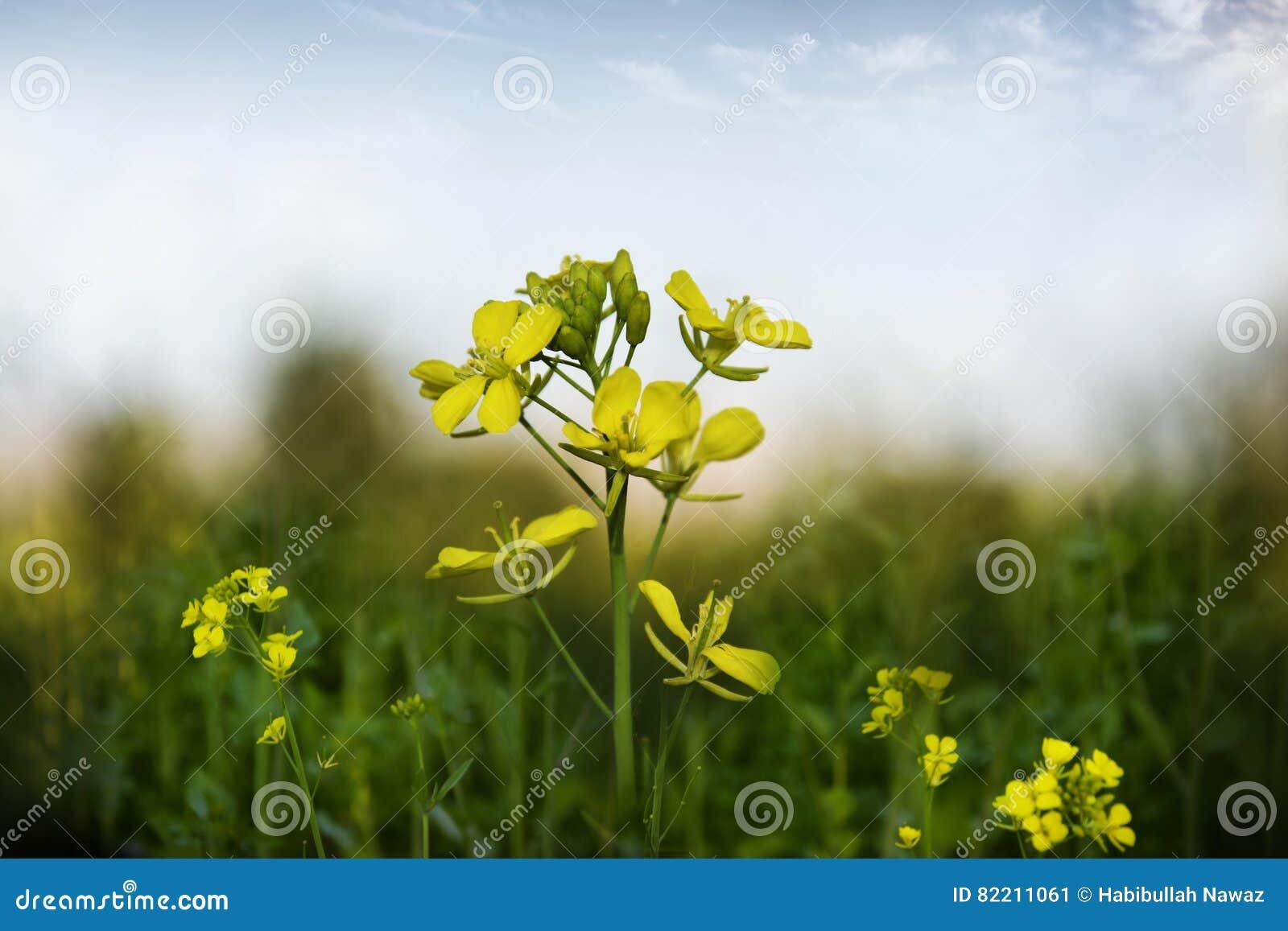 Senapsgult blomma