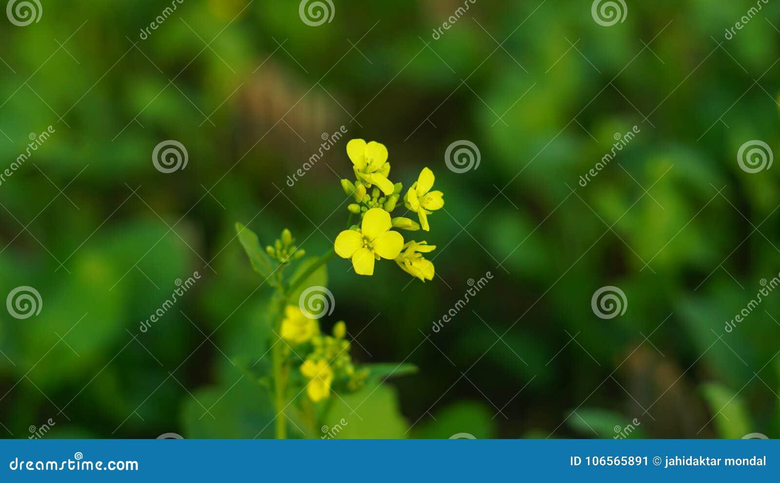 Senapsgult blomma i senapsgult lantbruk med bakgrund
