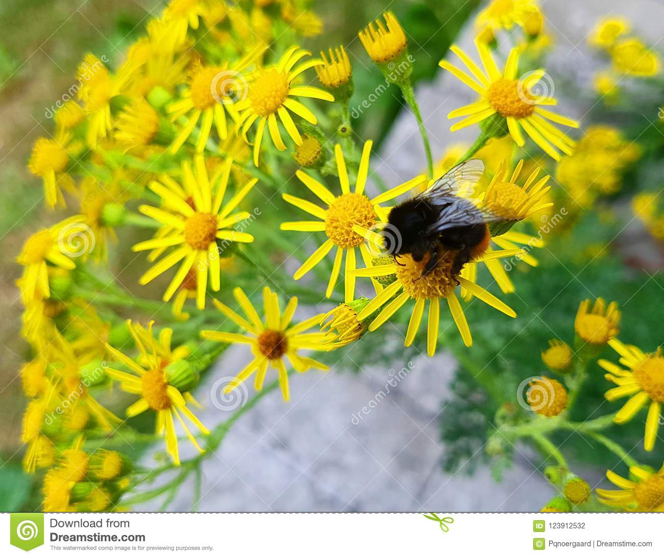Tansy Ragwort A Poisonous Flower When Eaten By Horses Or Cows