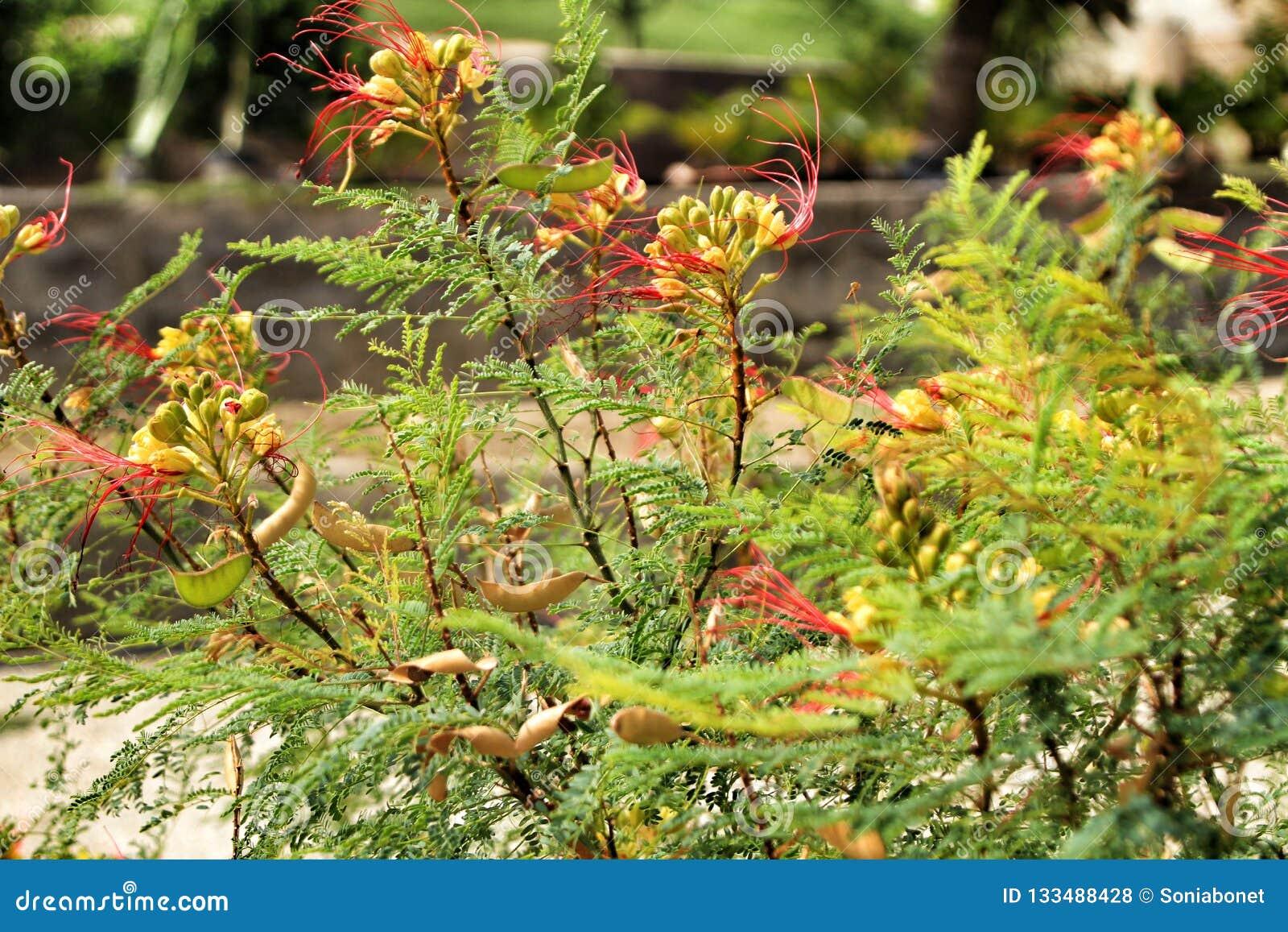 Senecio Kleinia plant in the garden