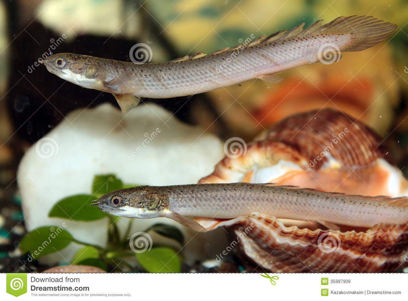 Freshwater aquarium fish photos - Image From Http Thumbs Dreamstime Com Z Senegal Bichir Aquarium Fish Freshwater 35987909 Jpg Aquarium Fish Pinterest