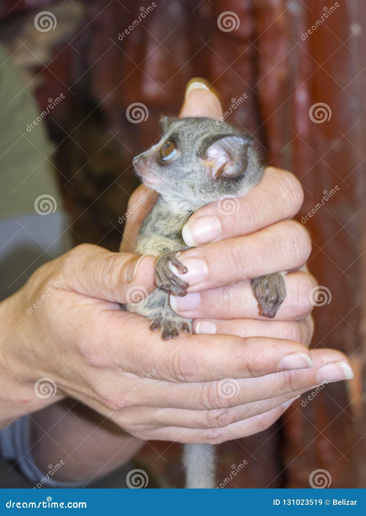 Senegal bushbaby in hand