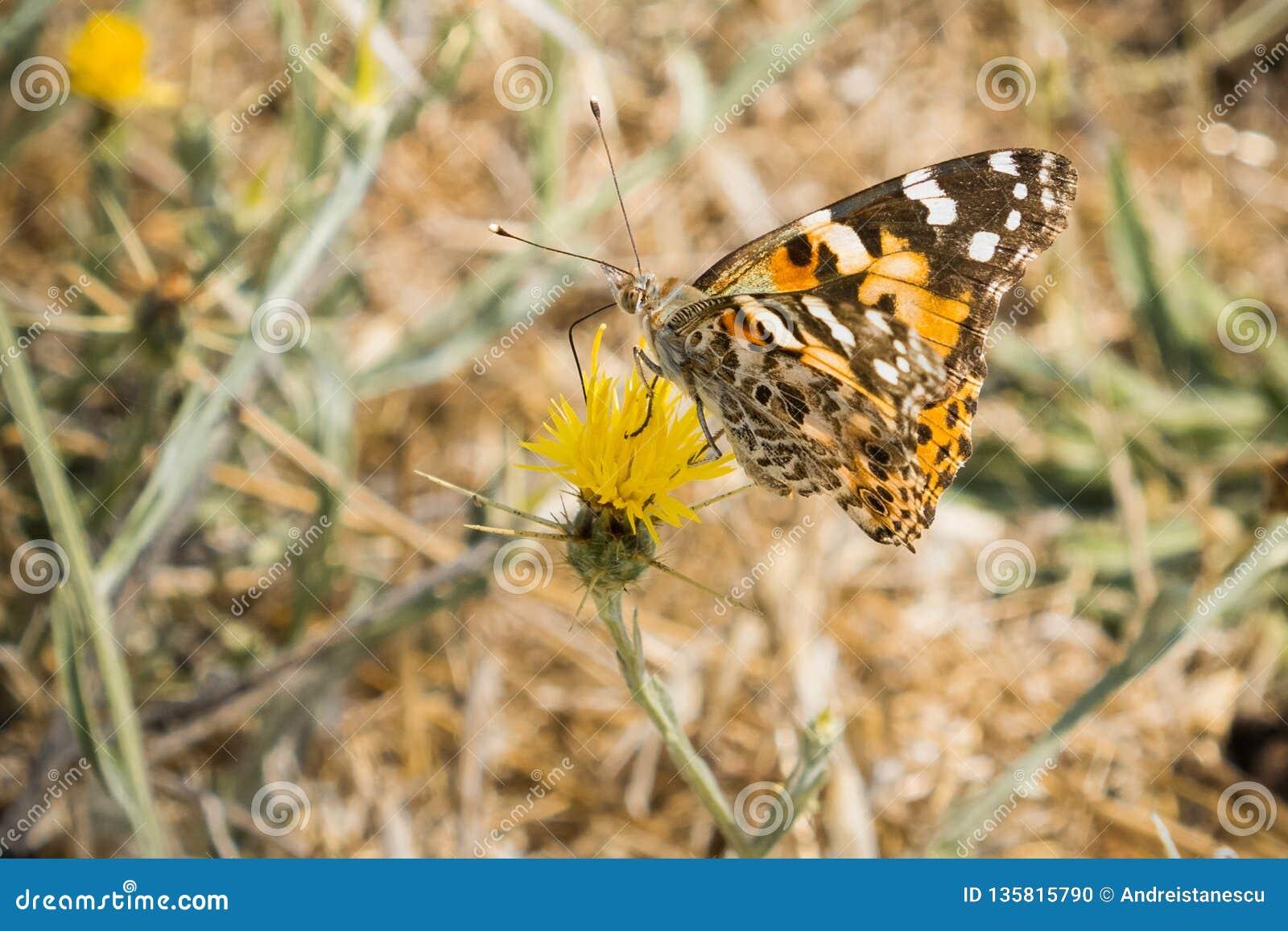 Senhora pintada borboleta (cardui de Vanessa) empoleirada em um cardo amarelo da estrela (solstitialis do Centaurea) que floresce