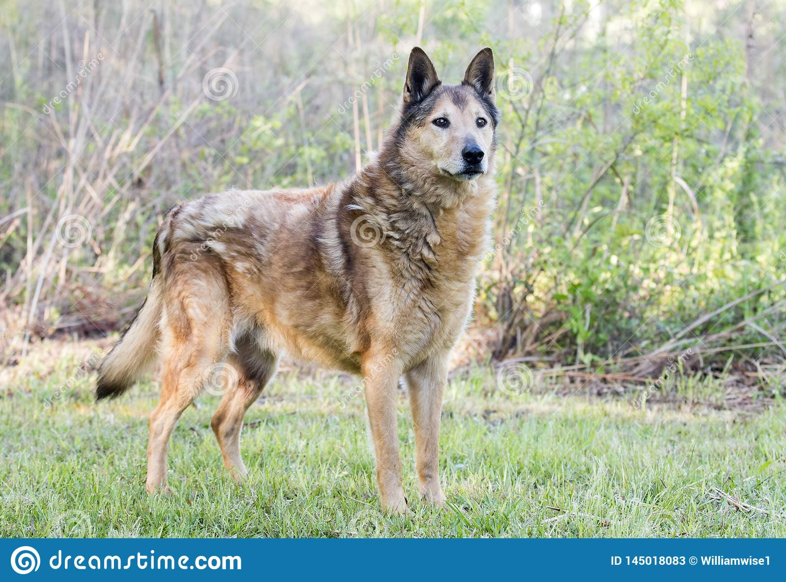 Senior Collie and German Shepherd mix breed dog