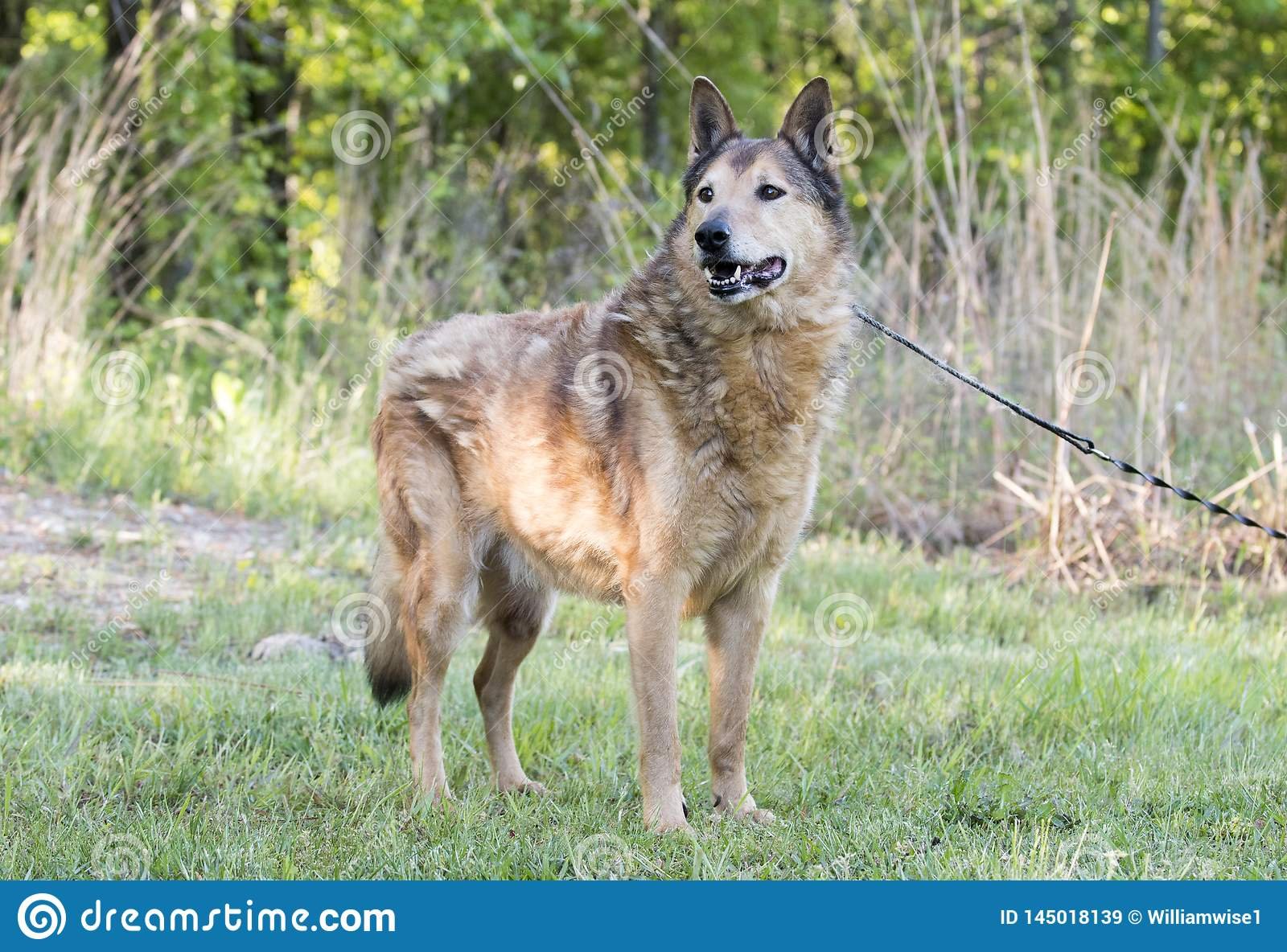 Senior Collie and German Shepherd mix breed dog