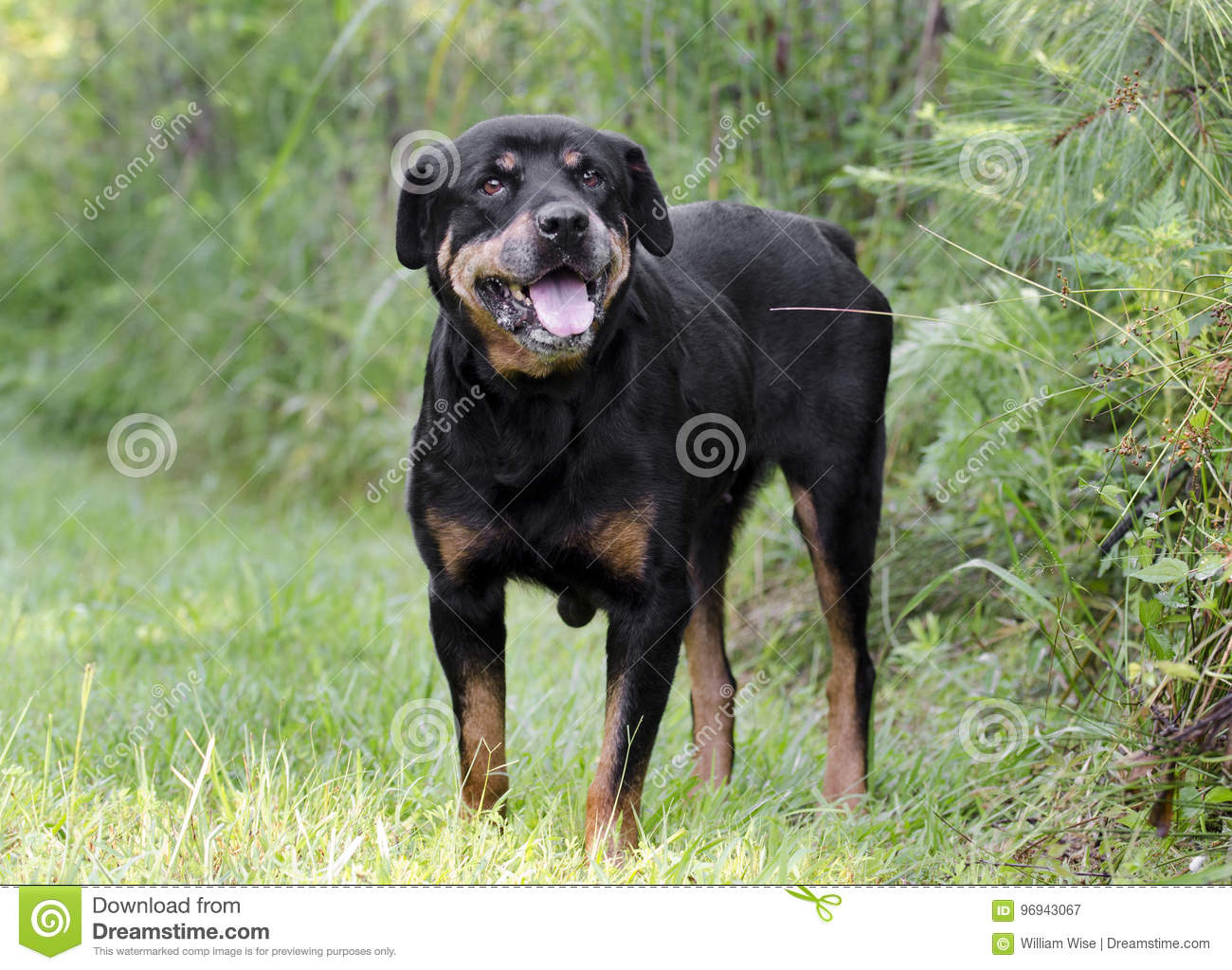 german rottweiler dog. royalty-free stock photo. download senior female german rottweiler dog e