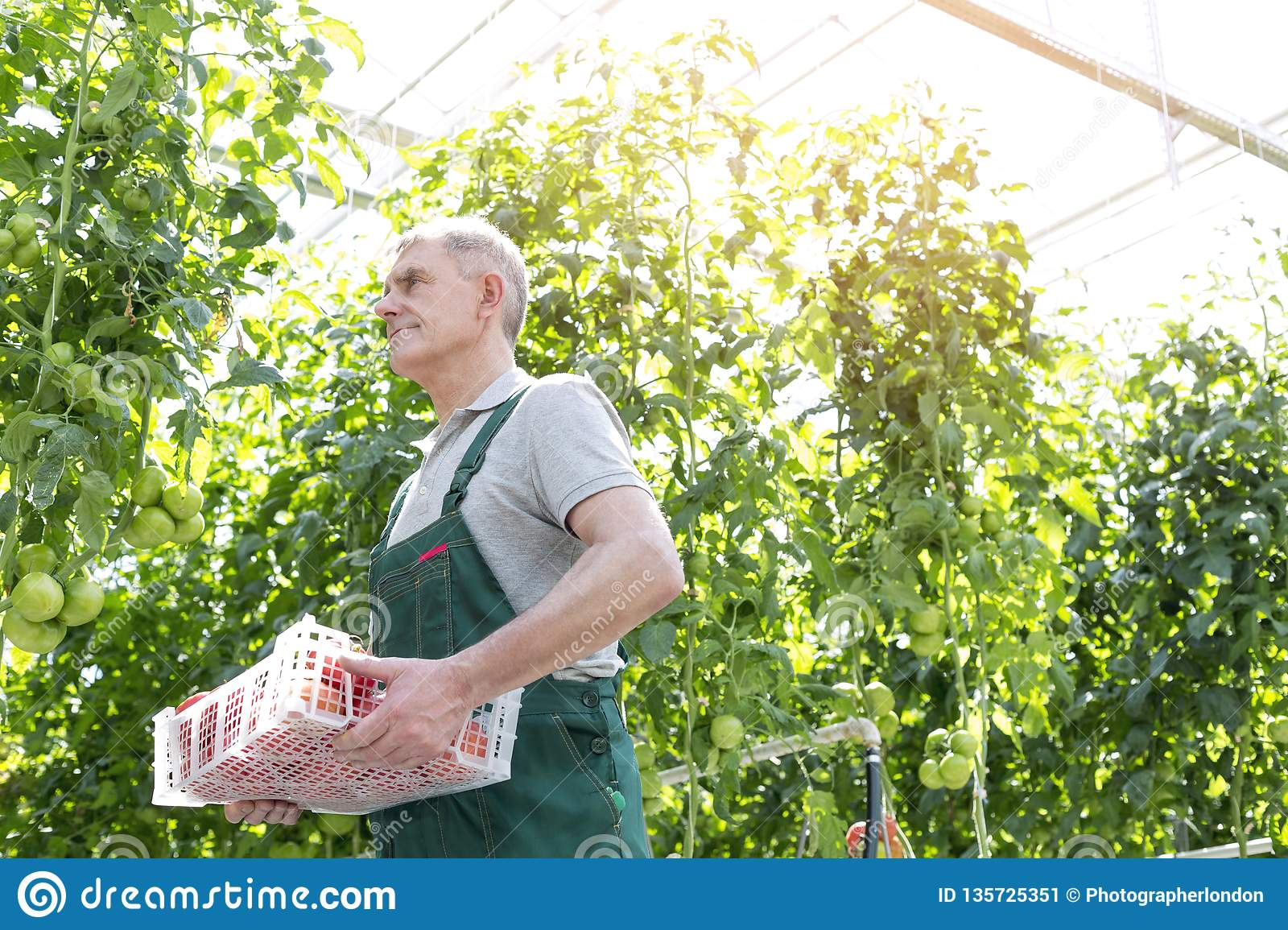Senior gardener carrying crate while walking by plants in greenhouse