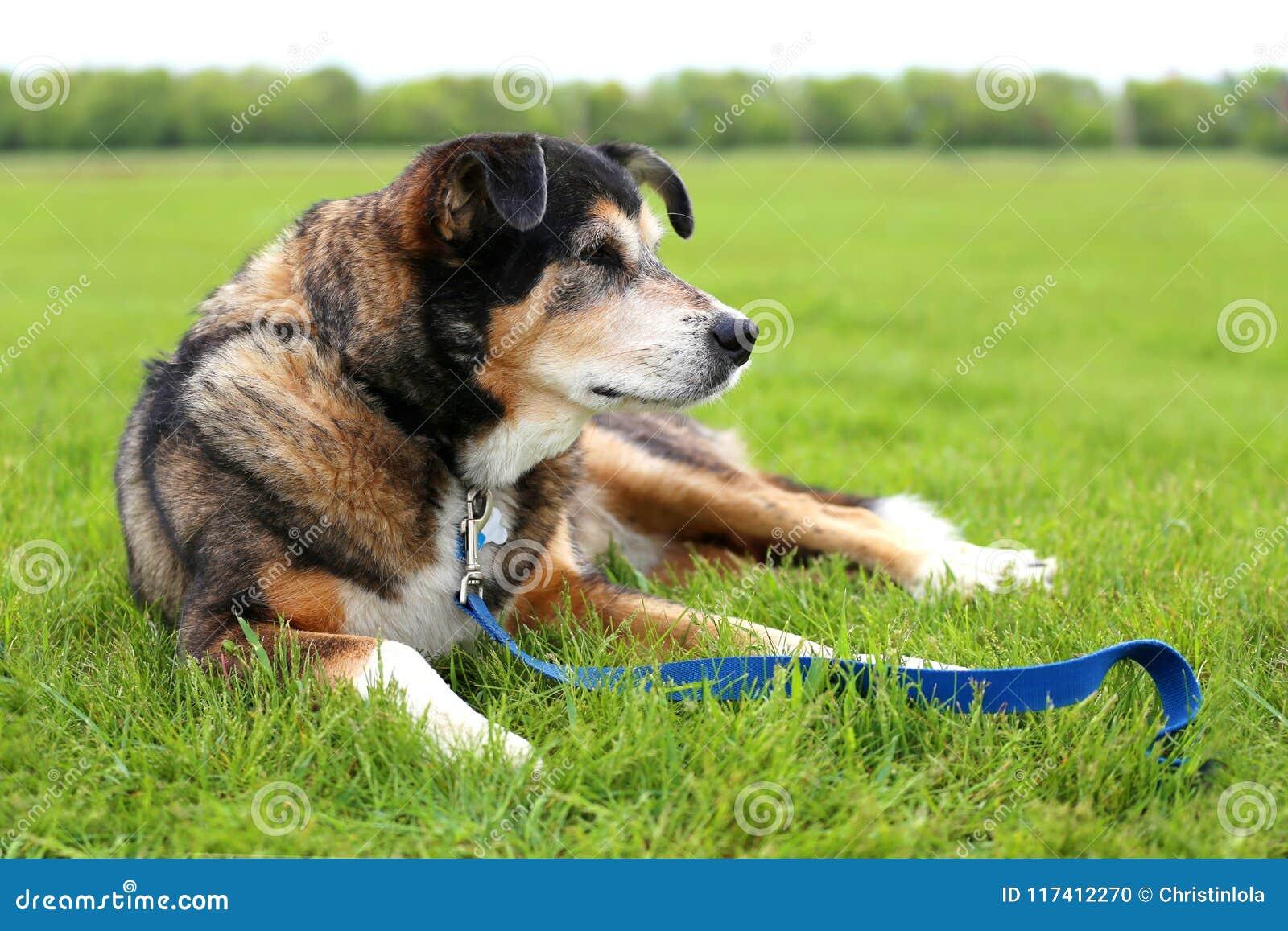 Senior gealterter Schäferhund Border Collie Mix Breed Rescue Dog L