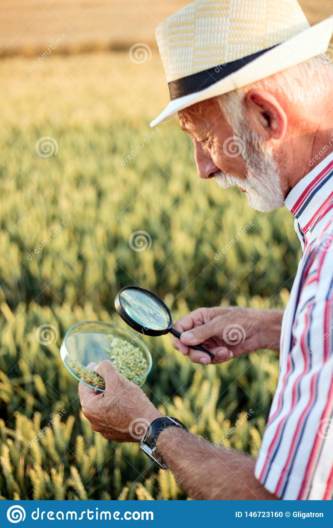 Senior agronomist or farmer examining wheat seeds under the magnifying glass in the field, looking for aphid or other parasites