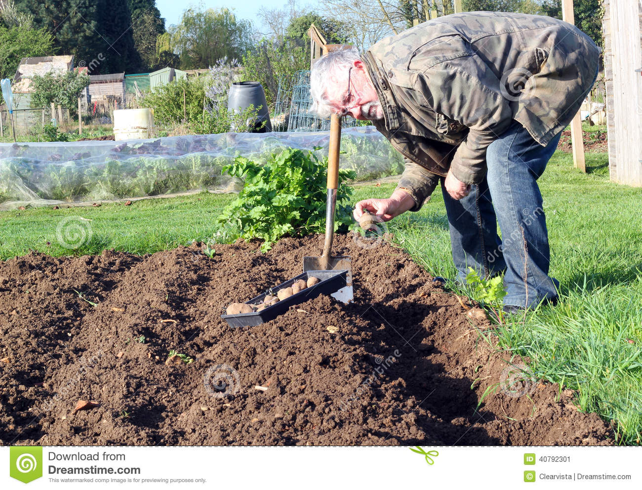 Awesome Senior Man Planting Potatoes In The Garden. Stock Image   Image Of  Cultivated, Gardener: 40792301
