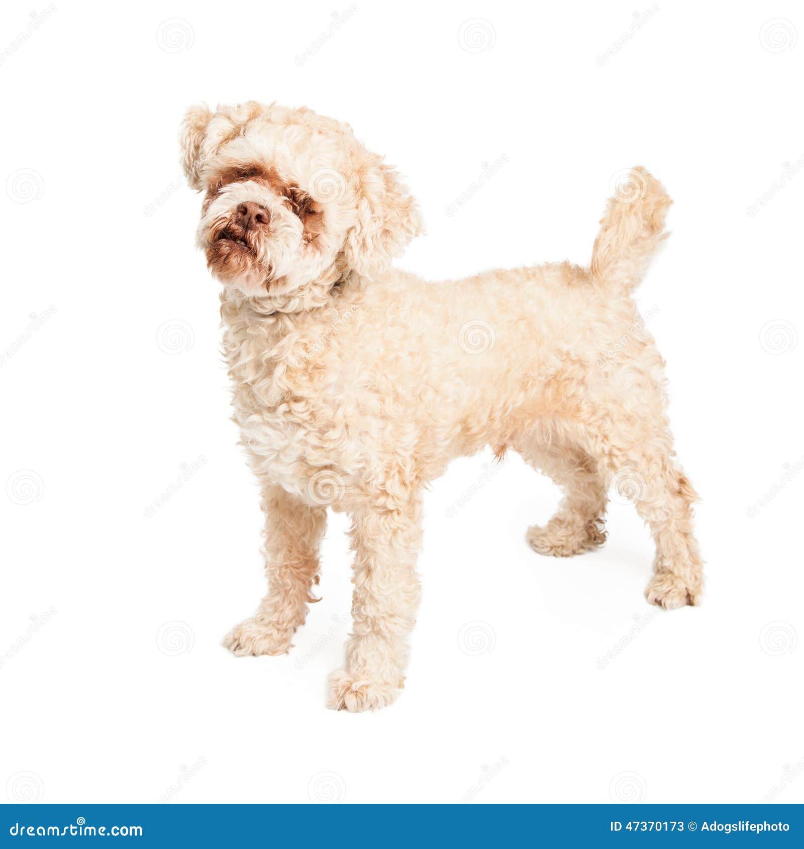 Senior Poodle Dog Standing