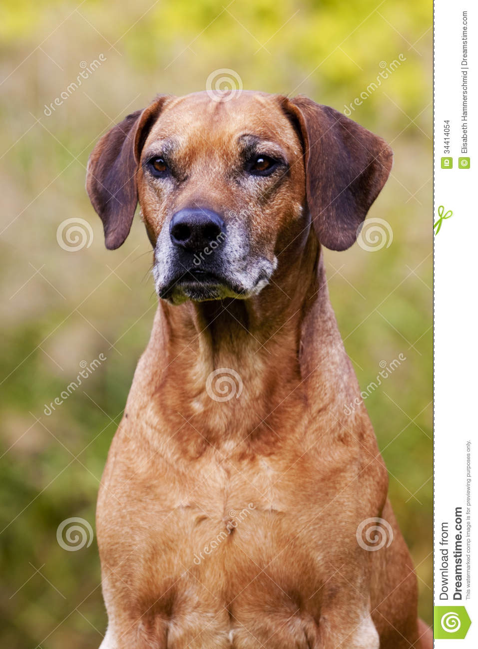 Dog Breed Grey Black And Brown Face
