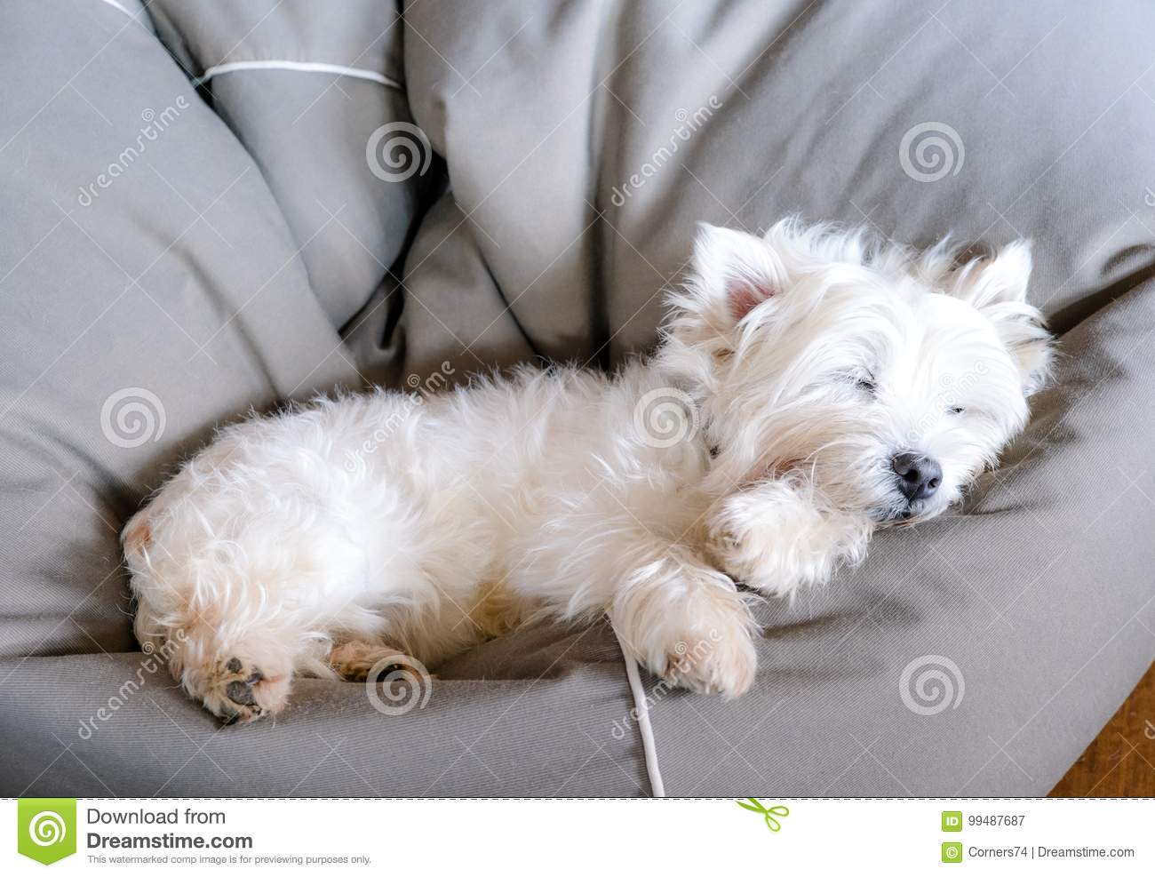 Senior West Highland White Terrier Westie Dog Sleeping In A Bean